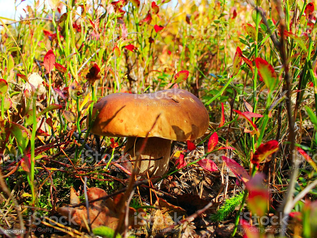 cep in the autumn grass in the forest stock photo
