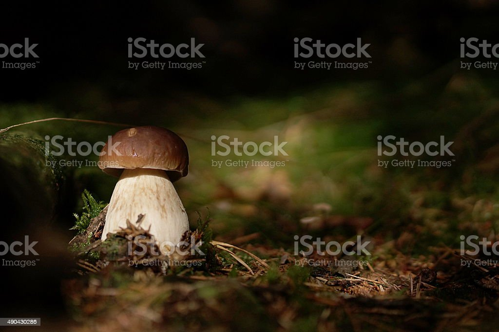 Cep in the forest stock photo