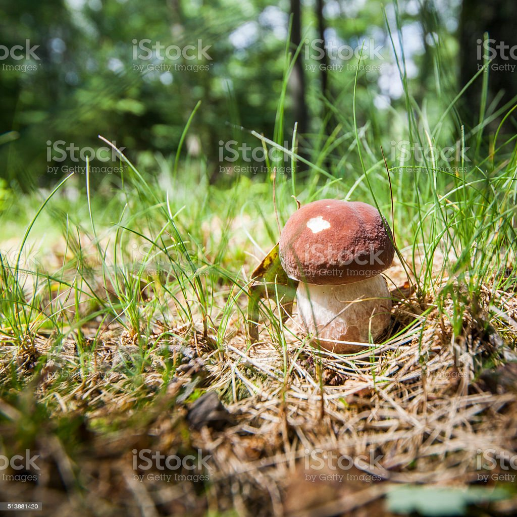 Cep mushroom in the forest stock photo
