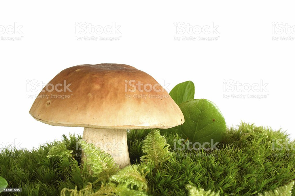 Cepe on fresh mossy hummock royalty-free stock photo
