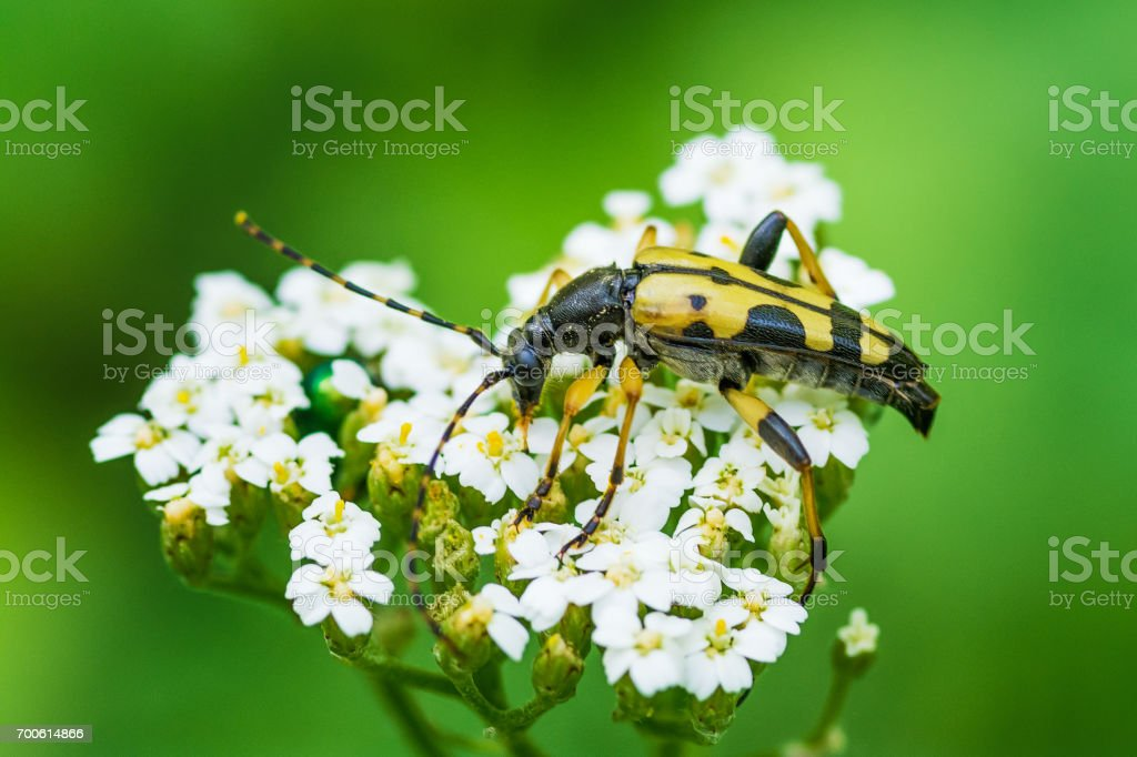 Cerambycidae from the group of hardwood insects stock photo