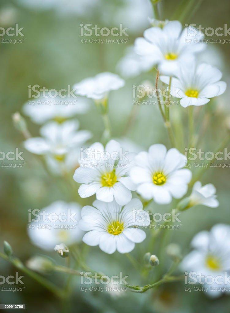 Cerastium tomentosum stock photo
