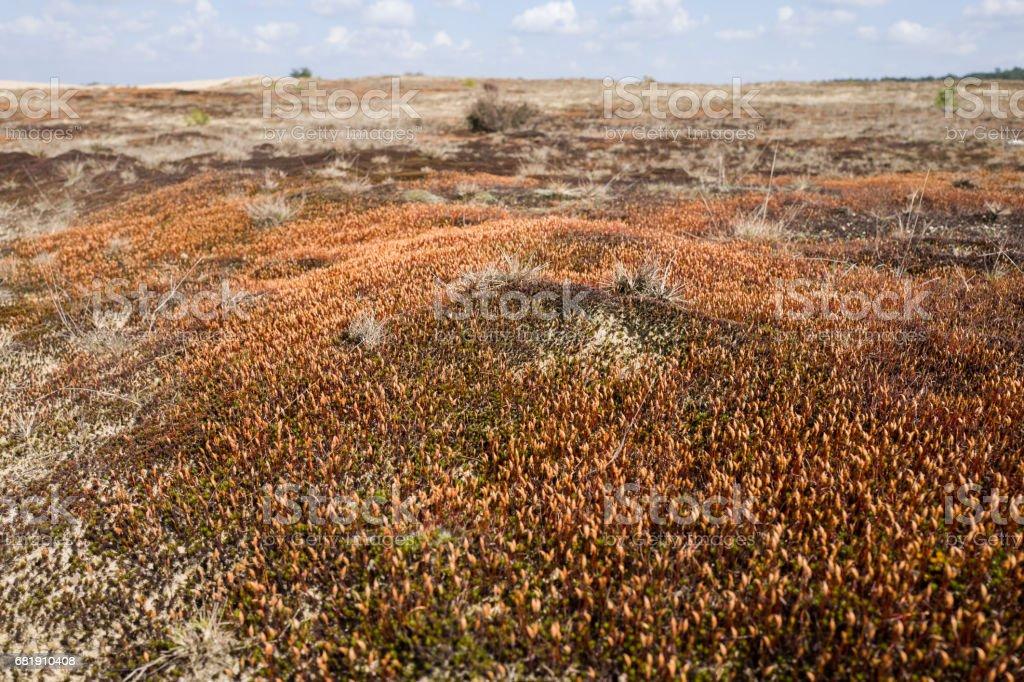 Ceratodon moss. stock photo