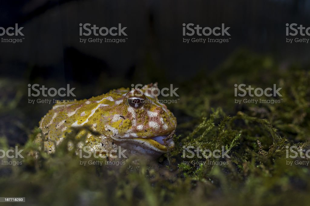 Ceratophrys cranwelli (Cranwell's horned or Pacman frog) stock photo