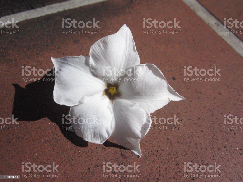 Cerbera odollam flower. stock photo