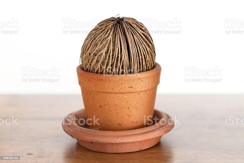 Cerbera odollam Gaertn seed in flower pot. stock photo