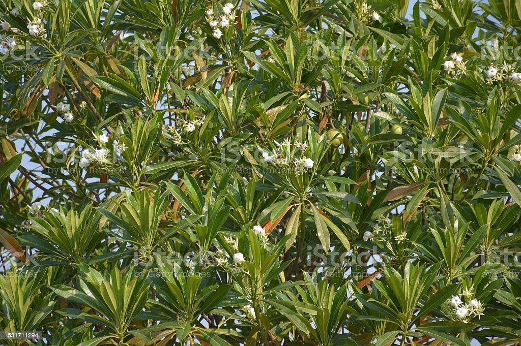 Cerbera odollam tree stock photo