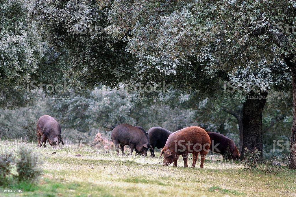 Cerdos en montanera stock photo