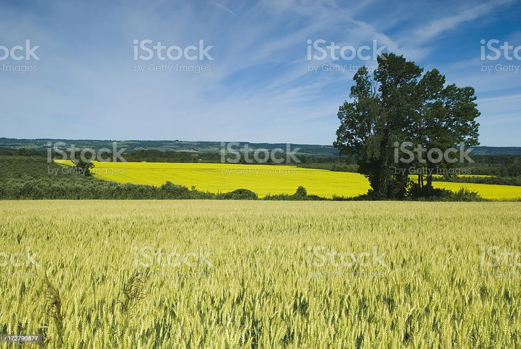 Cereal and Canola fields stock photo