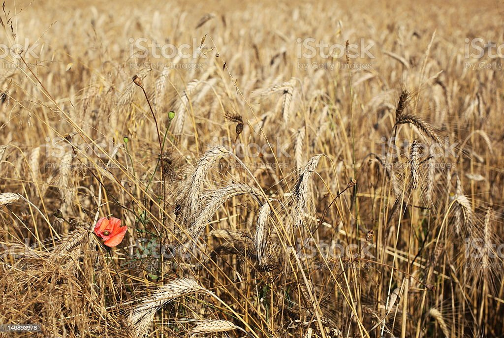 cereal and poppy royalty-free stock photo