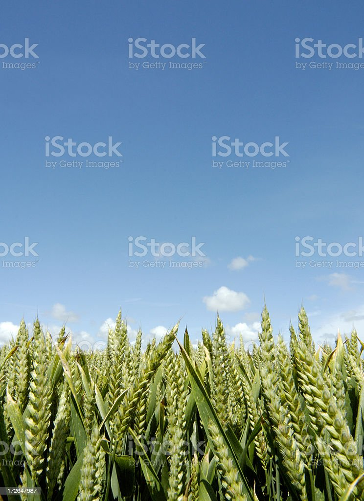 cereal and sky royalty-free stock photo