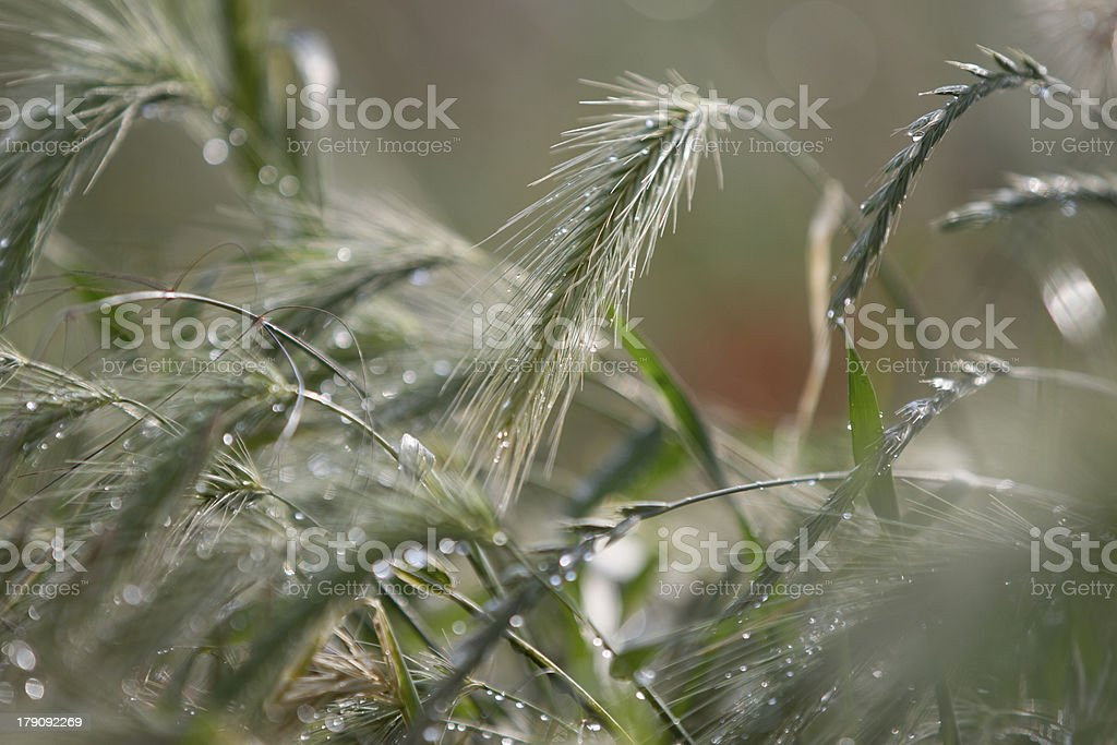 Cereal field after rain at the afternoon royalty-free stock photo