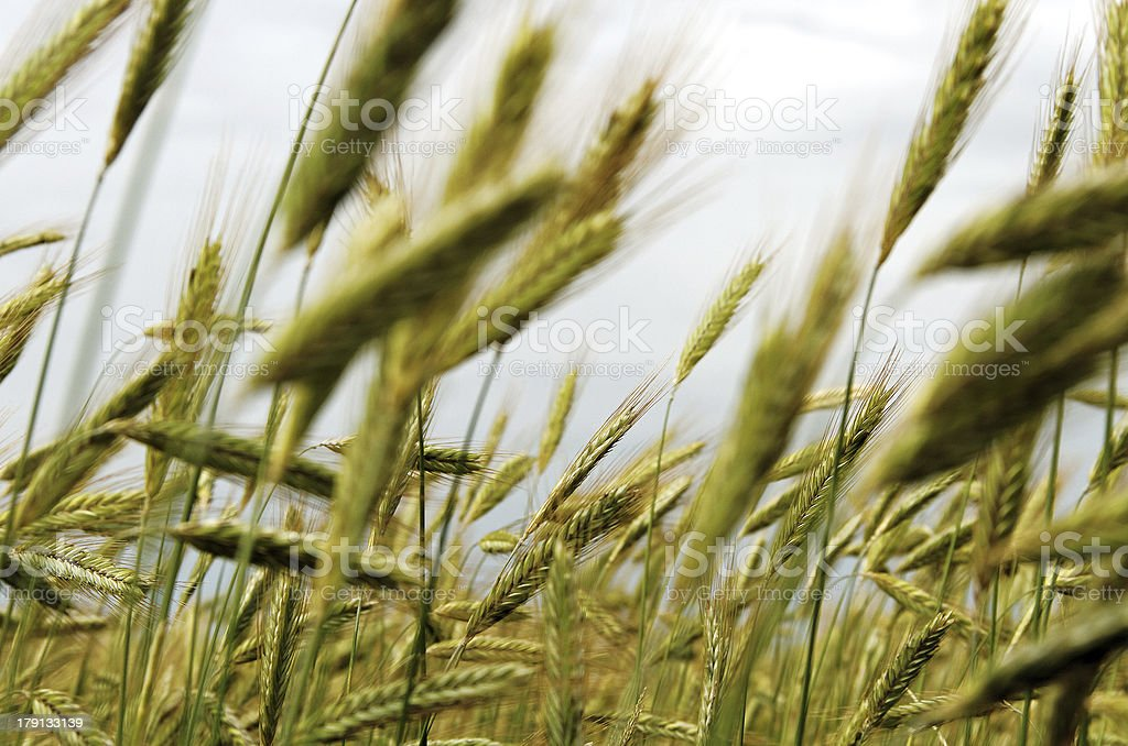 Cereal field. royalty-free stock photo