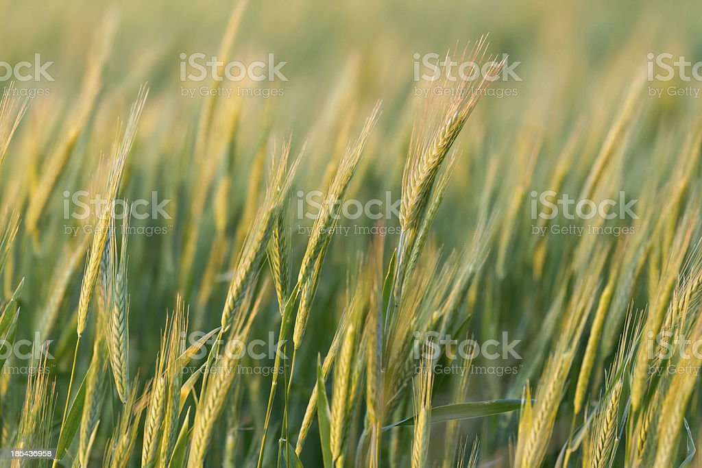 Cereal filed royalty-free stock photo