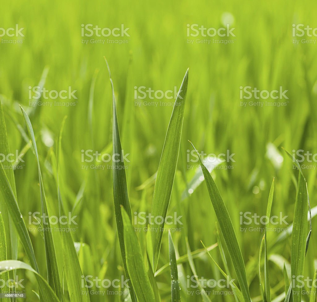 Cereal grass blades stock photo