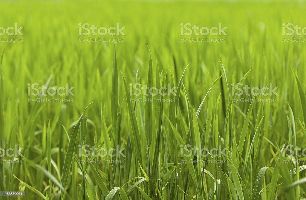 Cereal grass field stock photo