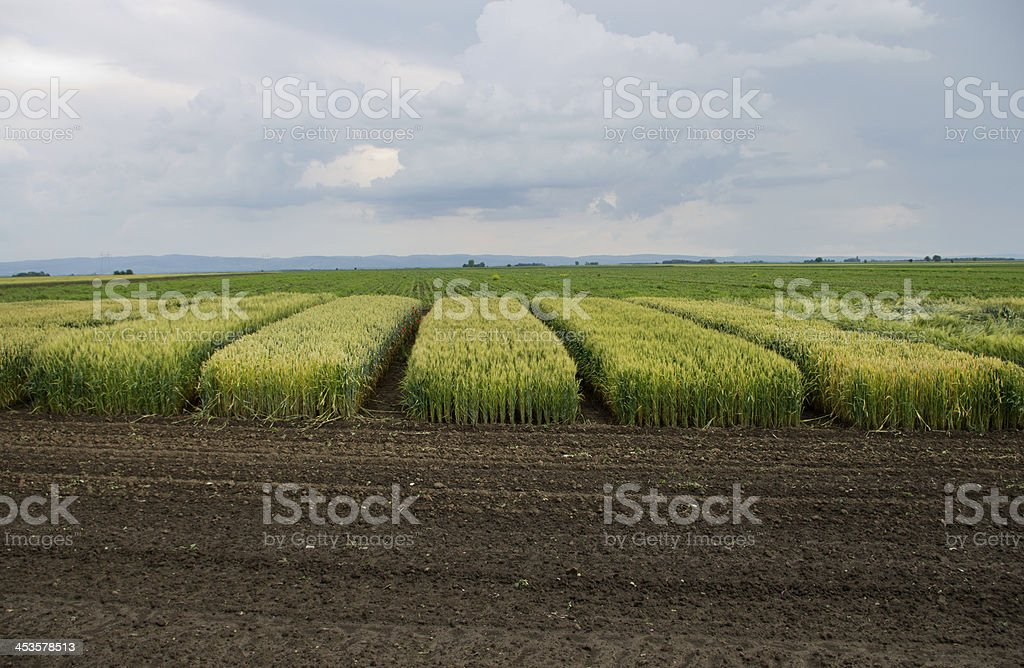Cereal hybrids royalty-free stock photo