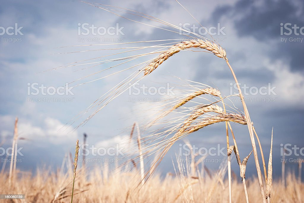 Cereal on field royalty-free stock photo