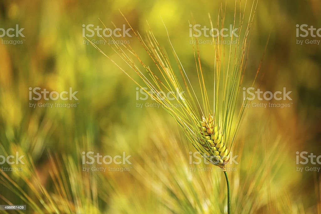 Cereal plant royalty-free stock photo
