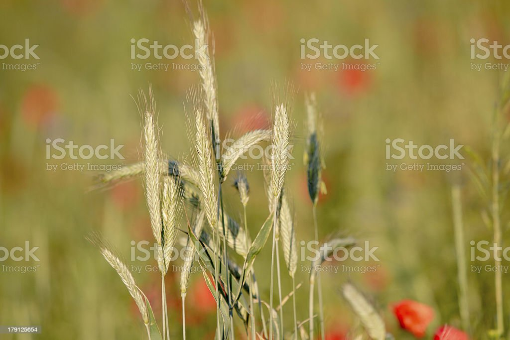 Cereal plants in the poppy field royalty-free stock photo
