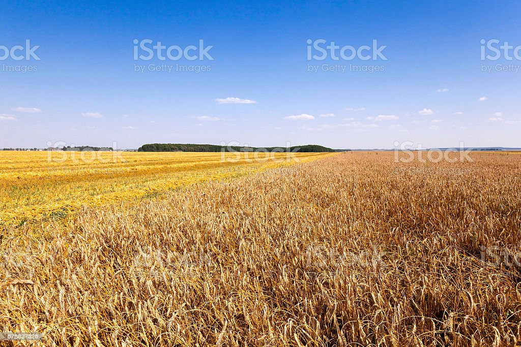 cereals during harvest stock photo