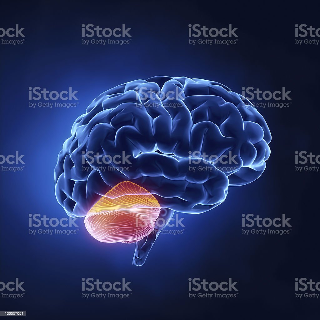 Cerebellum part - Human brain in x-ray view stock photo