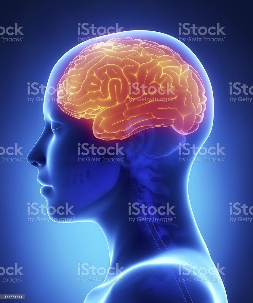 Cerebrum - female brain anatomy lateral view stock photo