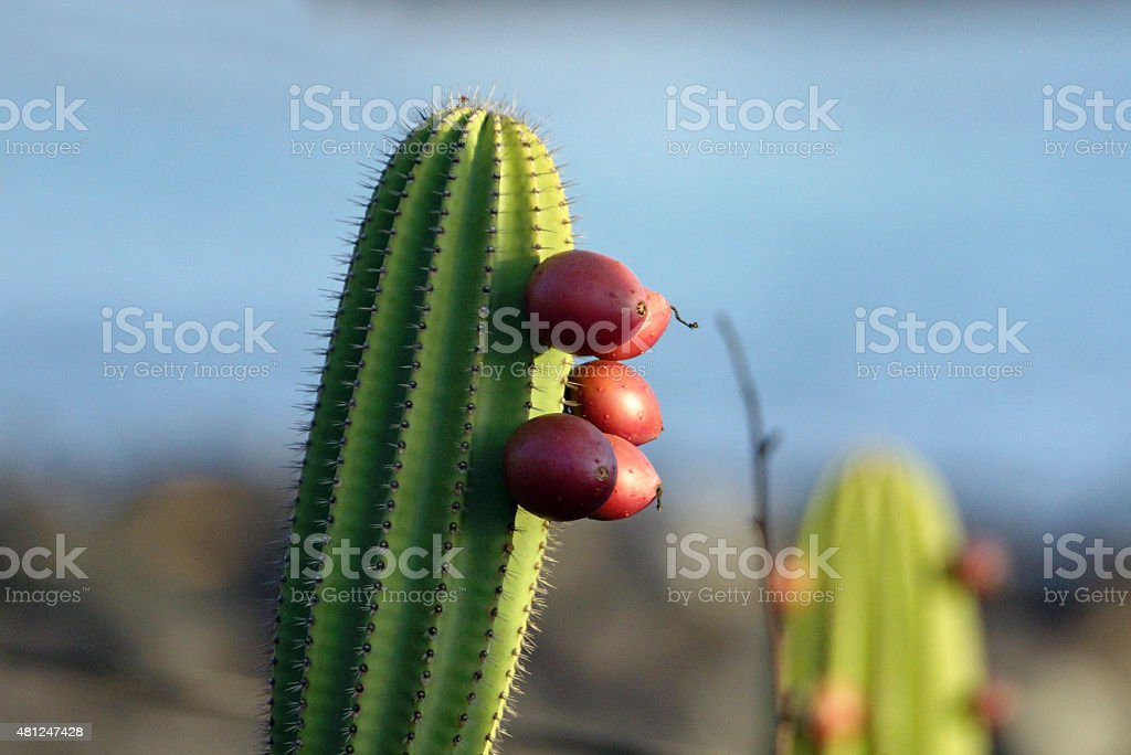 Cereus cactus with fruit stock photo
