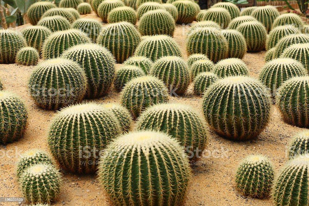 cereus stock photo