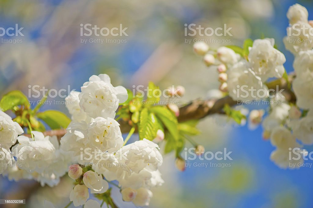 Cerry blossom stock photo