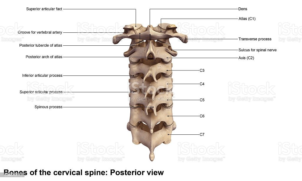 Cervical spine_Posterior view stock photo
