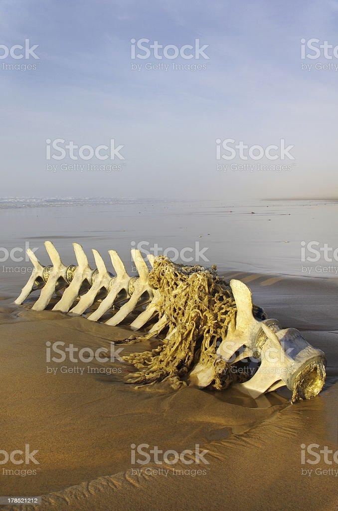 Cetacean skeleton royalty-free stock photo