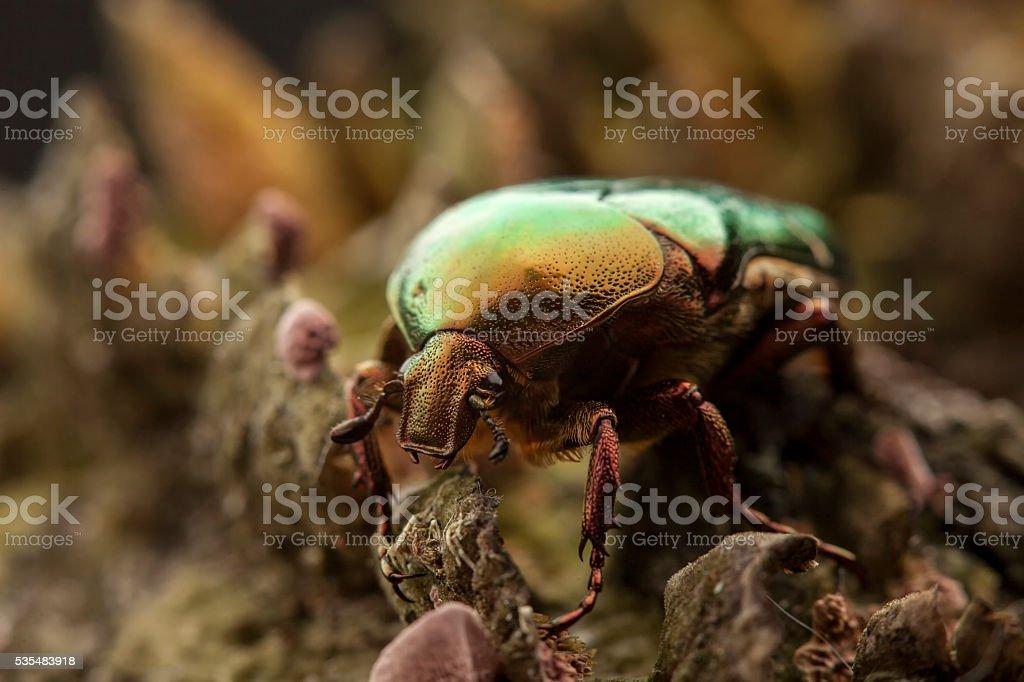 cetonia aurata bug stock photo