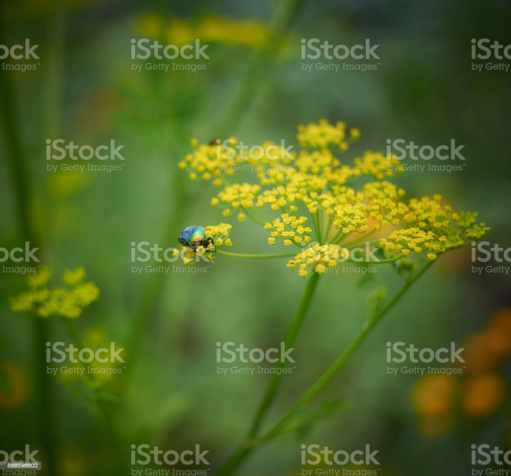 Cetonia aurata on dill flower stock photo