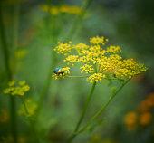 Cetonia aurata on dill flower