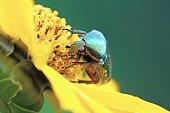 Cetonia aurata on tickseed flower