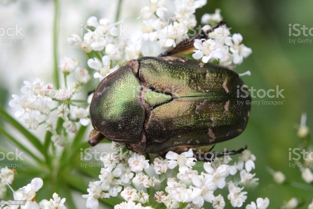 Cetonia aurata or Rose Chafer beetle – beautiful green bug stock photo