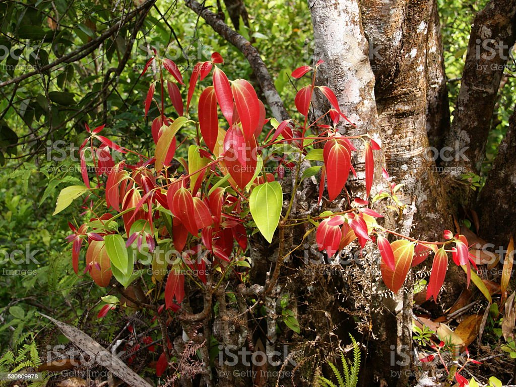 Ceylon cinnamon tree, true cinnamon tree, Cinnamomum verum stock photo