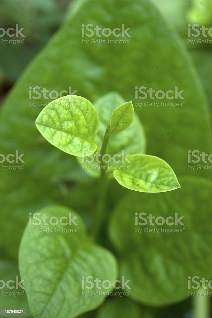 Ceylon spinach royalty-free stock photo