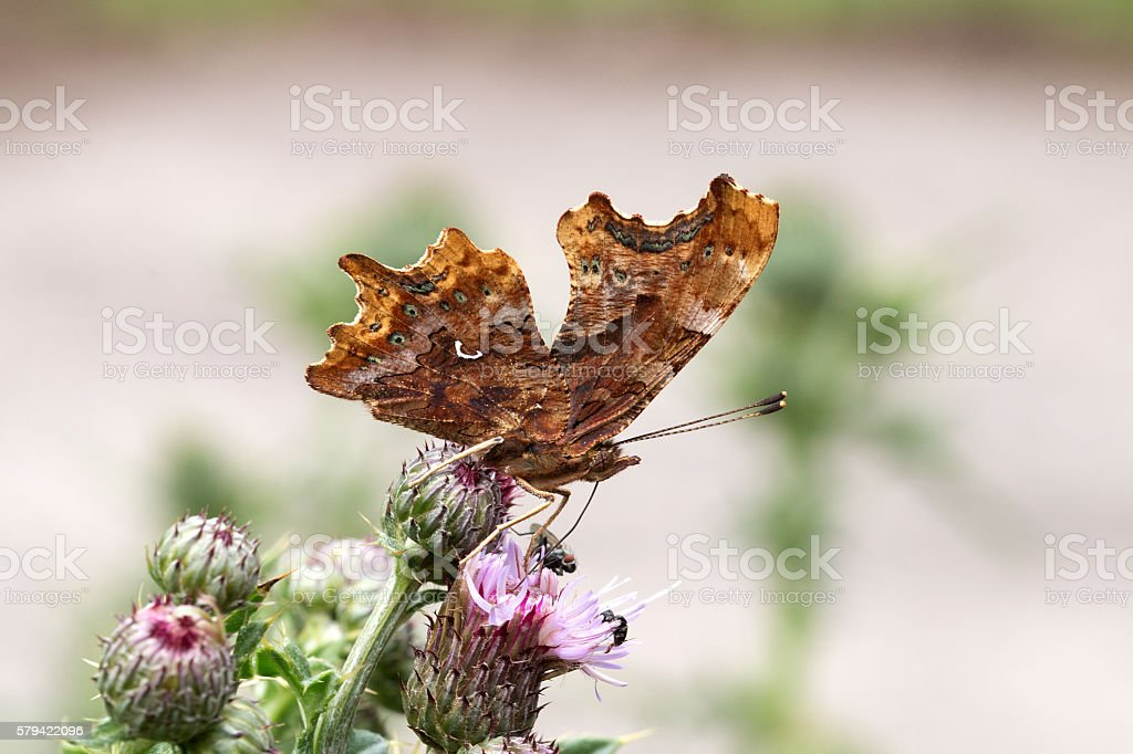 C-Falter von der Seite, Makro-Comma Butterfly from the side, Macro stock photo