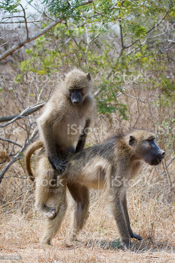 Chacma baboon in Kruger National park stock photo