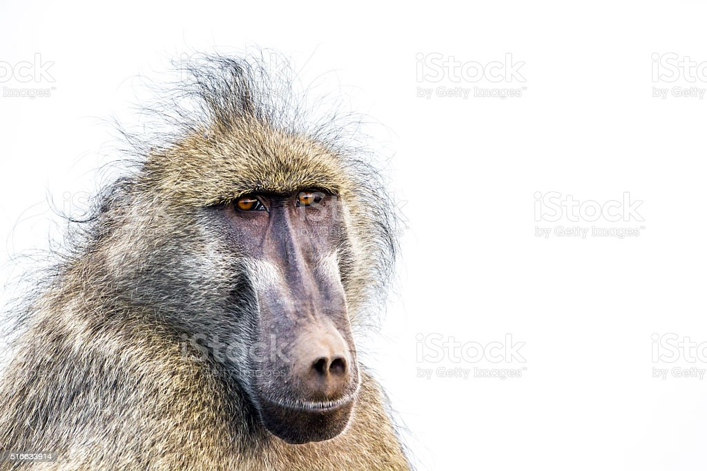 Chacma baboon in Kruger National park, South Africa stock photo