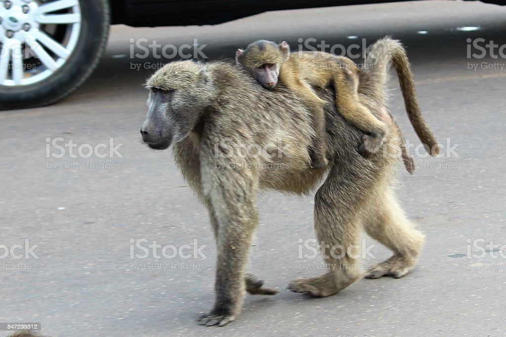 Chacma Baboon - Mother with baby on her back stock photo
