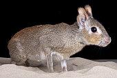 Chacoan mara (Dolichotis salinicola)