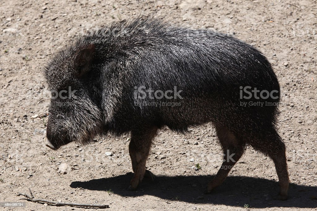 Chacoan peccary (Catagonus wagneri), also known as the tagua. stock photo