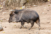 Chacoan peccary (Catagonus wagneri), also known as the tagua