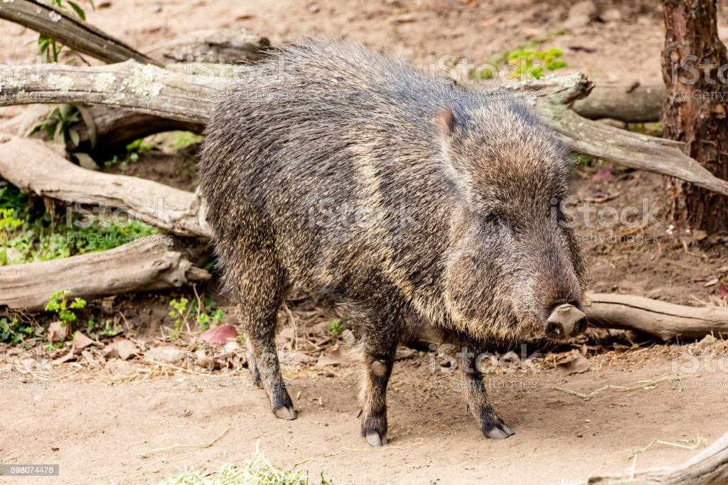 Chacoan peccary (Catagonus wagneri), also known as the tagua stock photo
