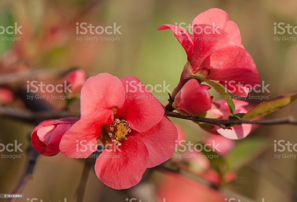 Chaenomeles Japanese flowers stock photo