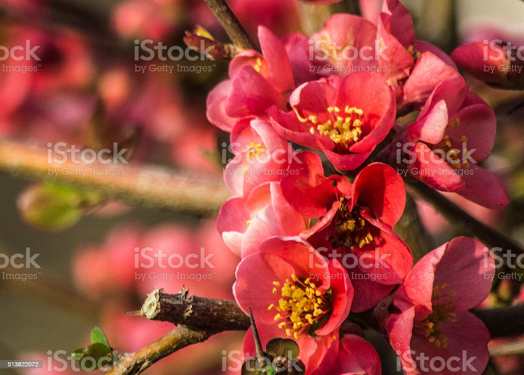 Chaenomeles Japonica blossom in late winter stock photo