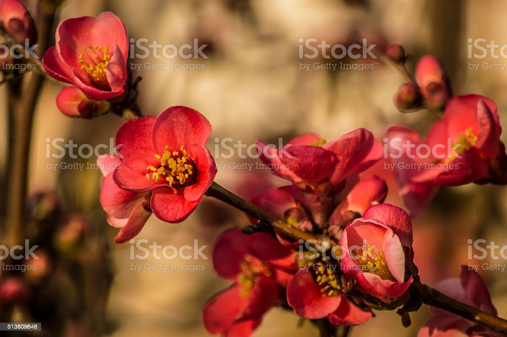 Chaenomeles Japonica blossom stock photo